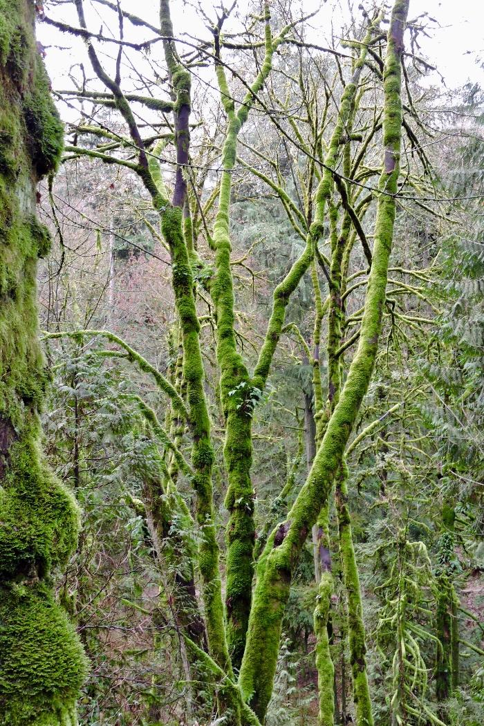 Moss Covered Trees along the Columbia River Highway