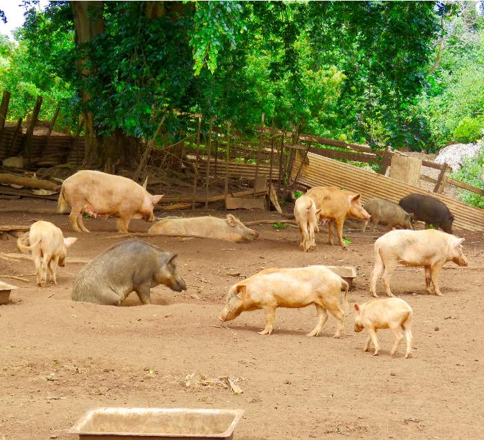 Problematic Feral Pigs