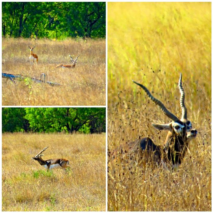 Black Buck Antelopes