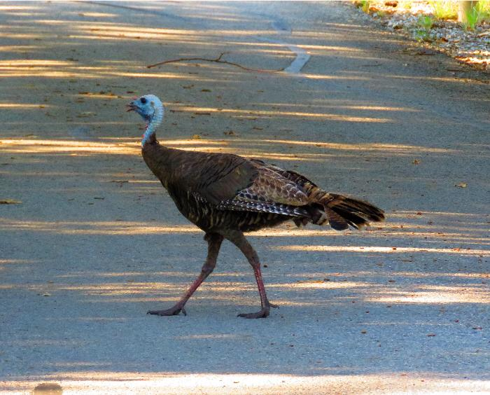 Turkey Crossing the Road in Loop B at Doris Campground