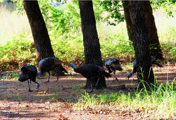 A Whole Family of Turkeys at Doris Campground