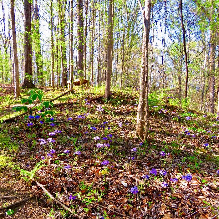 Early Spring Blooms in Meeman-Shelby Forest State Park