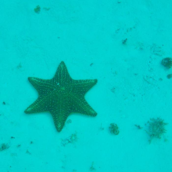 Six Pointed Starfish in Cozumel