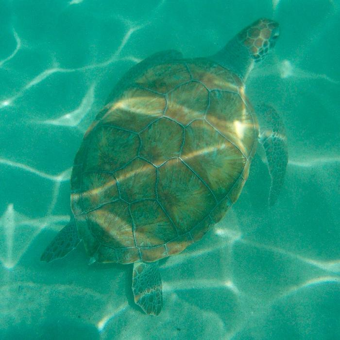 Swimming with Turtles at Fishermen's Wharf in Curacao