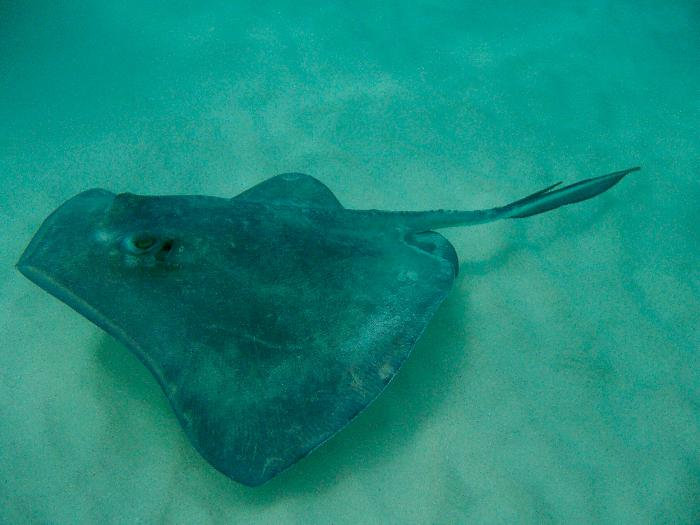Grand Cayman's Stingray City