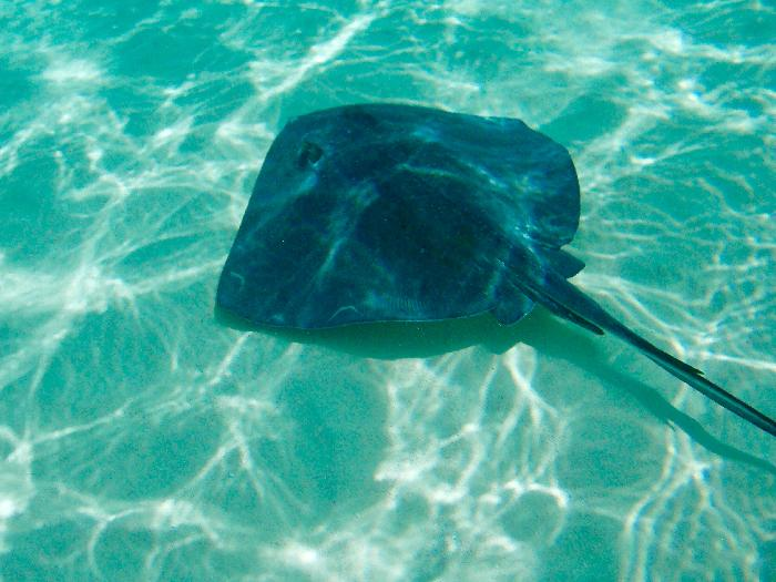 One of the Many Stingrays at Stingray City