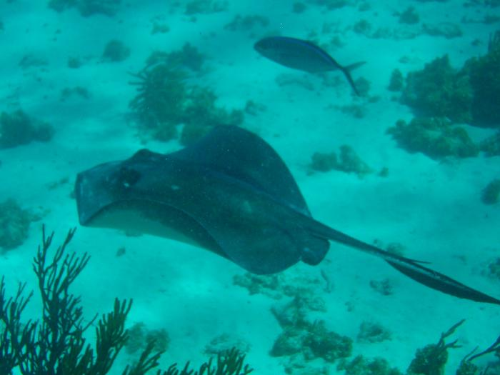 Stingray at Coral Gardens