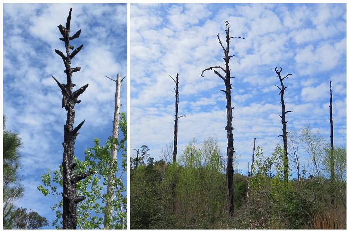 The Rebirth of Loblolly Pines at Bastrop State Park