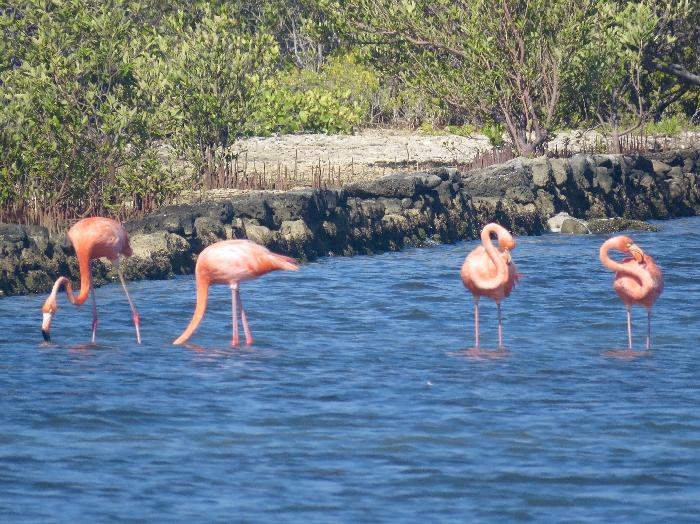Curacao's Favorite Pink Flamingos