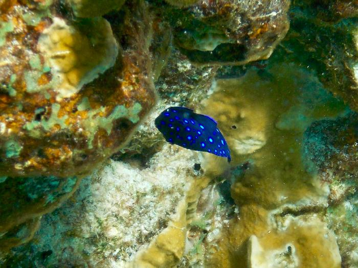 Caribbean Jewel Damselfish