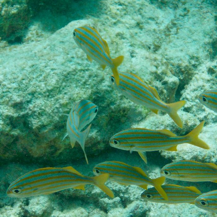 More Yellowtail Snappers