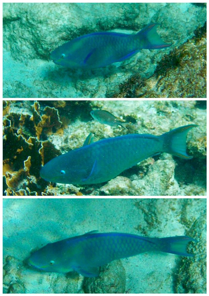 Lots of Blue Parrotfish