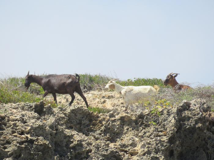 Watch for Goats at Arikok National Park