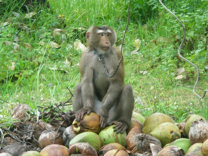 A Monkey with his Coconuts