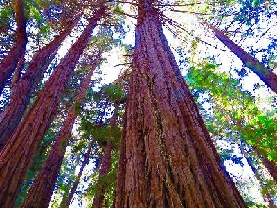 Hiking Among the California Redwoods